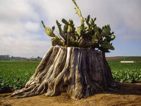 Cactus grows among the vegetable crop in California Reklamní fotografie