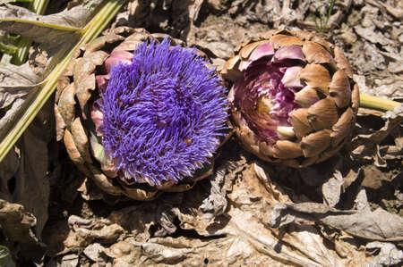 seeding: Seeding artichokes flower purple
