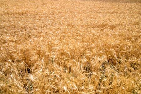 glows: Wheat glows in California sunshine Stock Photo