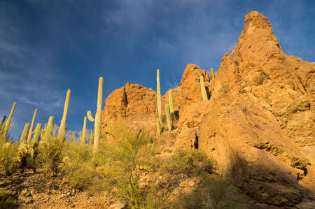 desert ecosystem: Cacti lit with afternoon sun in Saguaro National Park, Arizona USA