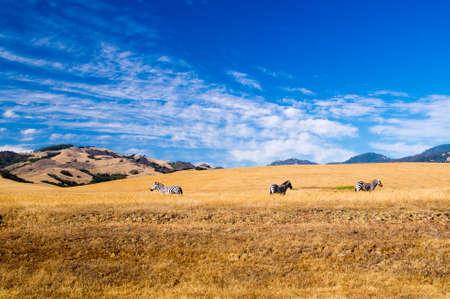 Zebra in California USA Stock fotó