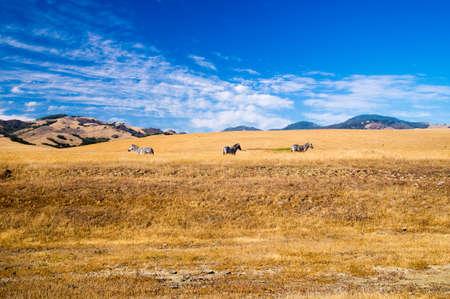 california coast: Three Zebra on California coast Stock Photo