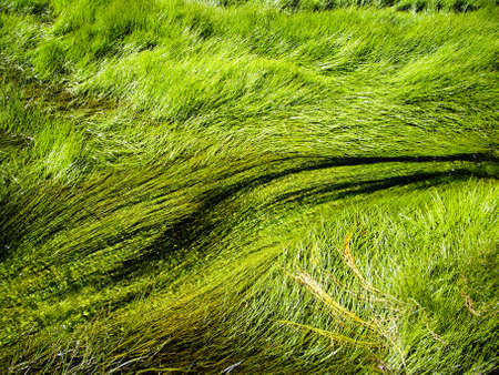 Grasses flow in thermal rivers in Yellowstone National Park