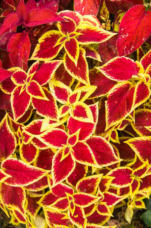 Red and yellow Poinsettias