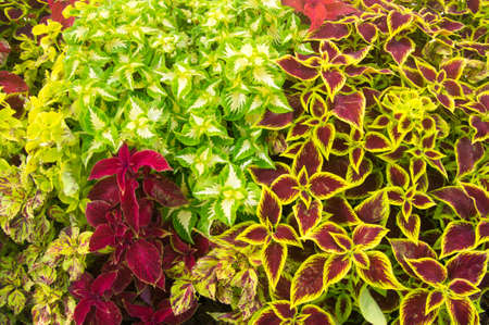 Red and green leaf plants
