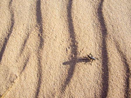 Black sand beetle in the Mojave desert
