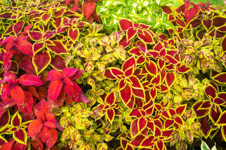 Colorful plants of red, yellow and green Stock fotó