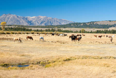 Herd of horses in Wyoming mountain country