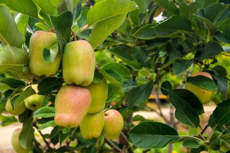 Apple crop in California
