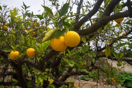 Ripe oranges on tree in California