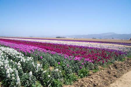 Fields full of flowers in California, USA