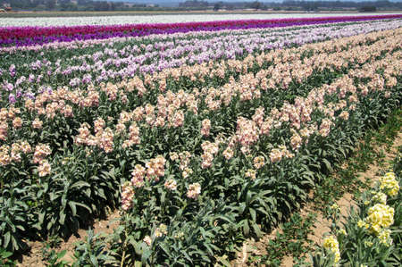 Rows of colorful flowers in California, USA Stock fotó