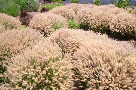 Grasses wave in breeze in California Stock fotó