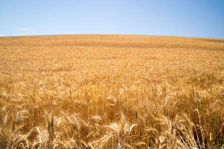 California grasses in sunshine