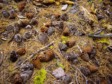 Pine cones and needles on the forest floor