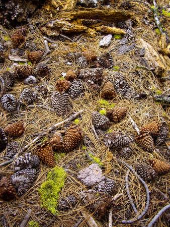 Cônes et des aiguilles de pin sur le sol de la forêt Banque d'images - 52668875