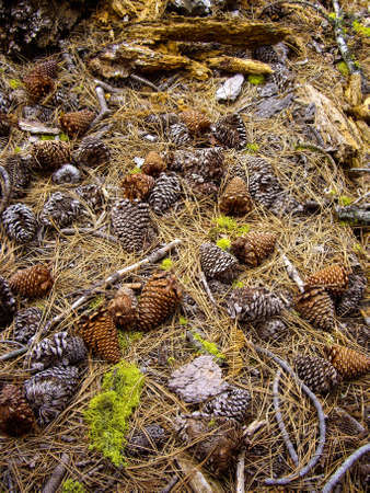 Pine cones and needles on forest floor