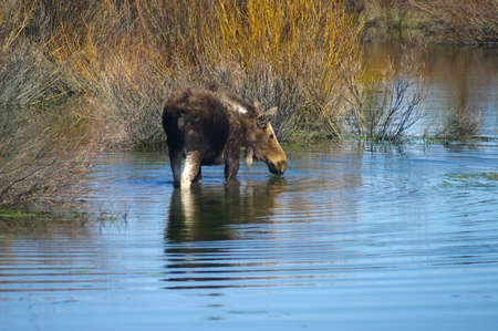 Moose in water in Grand Tetons National Park Stock fotó - 53843131