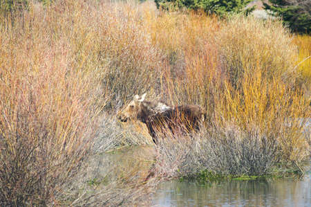 Moose in water in Grand Tetons National Park