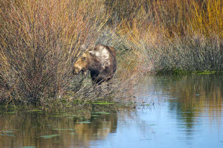 Moose eats willows in Grand Tetons park