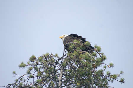 Bald eagle in Yellowstone National Park Stock fotó - 57057689