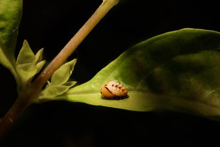 pupa: Extreme macro ladybug pupa on the green leaf