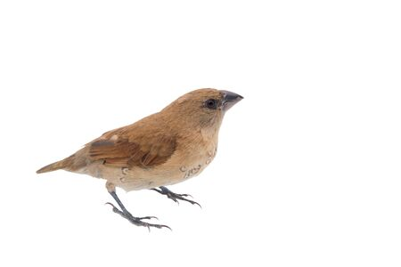 House Sparrow against isolated on a white background. Clipping path