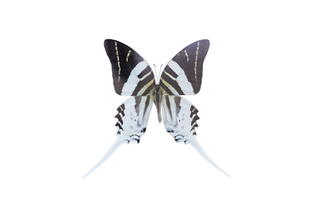 Graphium androcles butterfly on white background. Clipping path Stock Photo