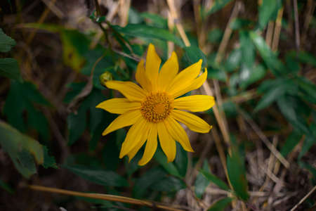 A yellow flower growing up in the morning at Chiang Dao national park Stock Photo