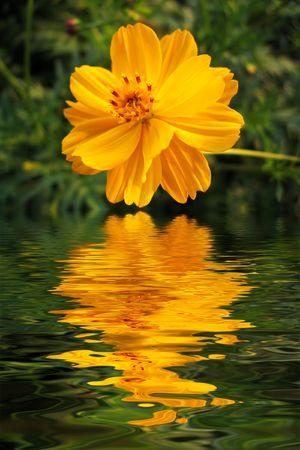 Cosmos sulfur-yellow (Cosmos sulphureus) photo