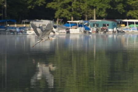 Blue Heron at Prince Gallitzin State Park photo