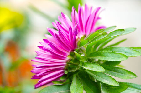 Pink color dahlia flower isolate green leaf background photo