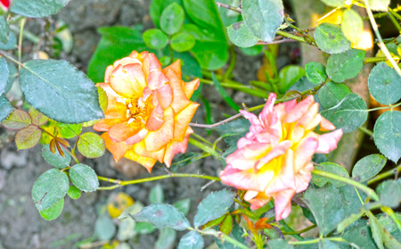 Yellow color rose flower isolate green  background photo