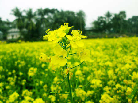rapaseed: Yellow rapeseed field on a sunny day