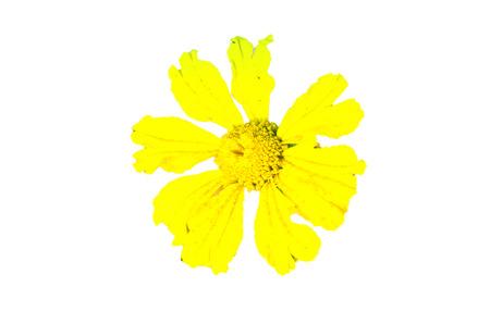 dipladenia: Fiore giallo isolato su sfondo bianco.