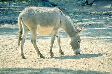 donkey tail: �frica comer culo salvaje, Equus africanus.
