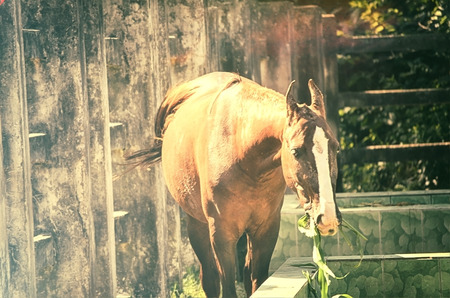 looking at viewer: A close up image of a horse looking directly at the viewer. Stock Photo