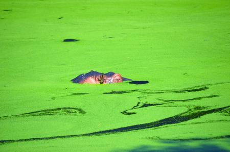 appears: Hippopotamus Hippopotamus amphibius appears above water surface.