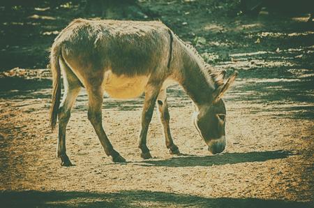 baby ass: African wild ass eating grass on forest field Stock Photo