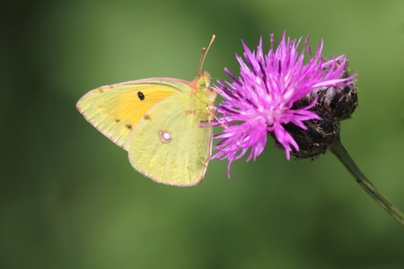 Dark Clouded Yellow (latin: Colias croceus) butterfly feeding on violet flower.