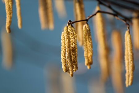 hazel tree: Hazel tree (Betulaceae) blossom by a river. Stock Photo