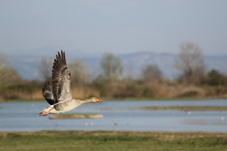 The Pink-footed Goose (Anser brachyrhynchus) in flight at birdwatching reseve Isola della Cona. Standard-Bild