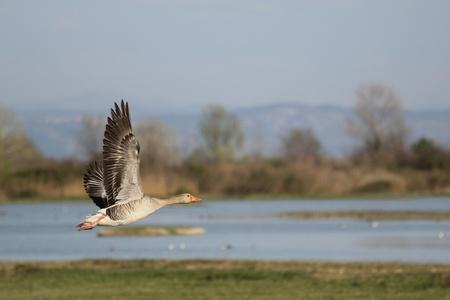 gansos: La Rosa patas Oca (Anser brachyrhinchus) en vuelo en la observaci�n de aves marcado Isola della Cona. Foto de archivo