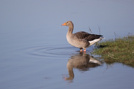 The Greylag Goose (Anser anser) shoot at birdwatching reseve Isola della Cona. photo