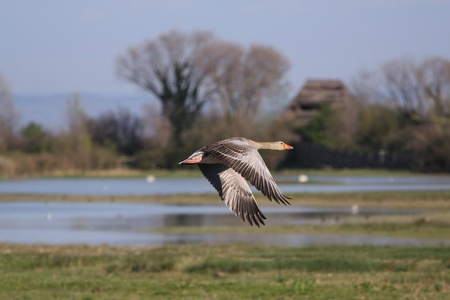 The Pink-footed Goose (Anser brachyrhynchus) passing a birdwatching observatory (shoot at Isola della Cona). Standard-Bild