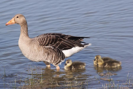 gosling: The Greylag Goose (Anser anser) with gosling. Shoot at birdwatching reseve Isola della Cona.