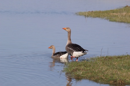 A Greylag Goose couple (Anser anser) shoot at birdwatching reseve Isola della Cona.