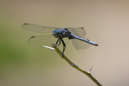 Dragonfly (Keeled Skimmer - Orthetrum coerulescens) on branch portrait.