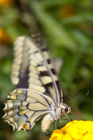 Old World Swallowtail (Papilio machaon) butterfly with motion blurred wings. Archivio Fotografico