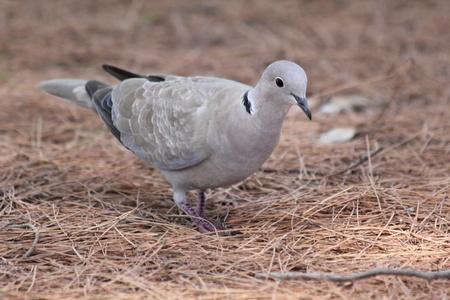 Eurasian collared dove (Streptopelia decaocto) searching for food in pine wood.